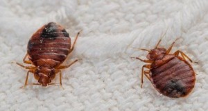 bed bugs removal edmonton