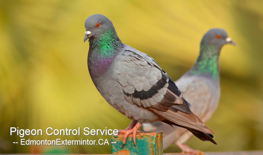 Edmonton pigeon control service