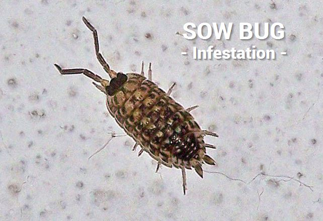 sow bug infestation edmonton