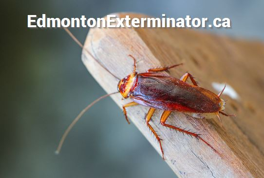 cockroach near downtown edmonton